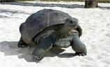 Figura de tortuga gigante galápago