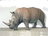 Figura de rinoceronte