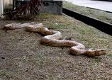 Figura de serpiente piton