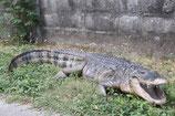 réplica de alligator Americano | réplicas de cocodrilos