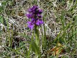 Orchis mascula / Männliches Knabenkraut  Jpf