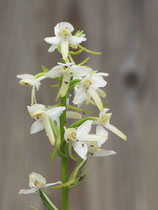 Platanthera bifolia / Zweiblättrige Waldhyazinthe Jpf