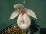 Cypripedium formosanum / Formosafrauenschuh BF