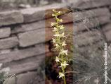 Platanthera chlorantha / Grünliche Waldhyazinthe BF