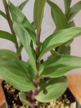 Epipactis atrorubens / Braunrote Stendelwurz JPF