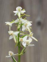 Platanthera bifolia / Zweiblättrige Waldhyazinthe BF