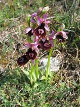 Ophrys benacensis  / Falsche Bertoloniragwurz  BF