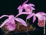 Pleione limprichtii / Tibetorchidee BF