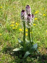 Orchis ustulata / Angebranntes Knabenkraut Jpf
