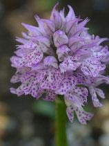 Orchis tridentata / Dreizähniges Knabenkraut BF