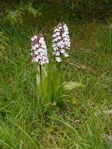 Orchis purpurea / Purpurknabenkraut JPF