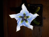 Gentiana angustifolia  'Gletschereis'