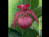 Cypripedium macranthon / Großblumiger Frauenschuh BF