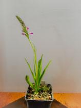 Dactylorhiza iberica / Krim-Knabenkraut BF