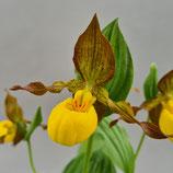 Cypripedium planipetalum x pubescens  BF - Frauenschuh-NaturHybride
