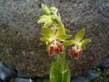 Calanthe tricarinata / Gefurchte Japanwaldorchidee