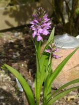 Dactylorhiza purpurella / Purpurblütiges Knabenkraut BF