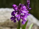 Orchis mascula / Männliches Knabenkraut BF