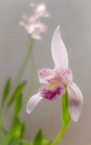 Pogonia ophioglossoides / Natternzungen-Pogonie BF