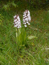 Orchis purpurea / Purpurknabenkraut BF