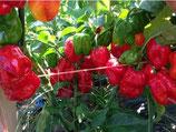 Habanero Rouge - Sachet 10 graines