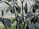 Pimenta Da Neyde - Sachet 10 graines
