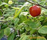 Rocoto Rouge - Sachet 10 graines