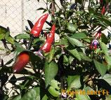 Aussie Black - Sachet 10 graines