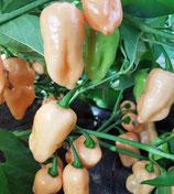 Fatalii Peach - Sachet 10 graines