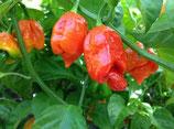 Trinidad Scorpion - Sachet 10 graines