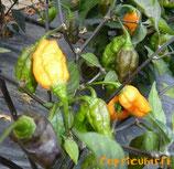 Pimenta Preta Orange - Sachet 10 graines