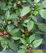 Black Olive - Sachet 10 graines