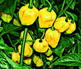 Scotch Bonnet Jaune - Sachet 10 graines