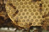 BIO-Bienenvölker
