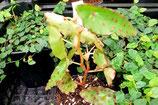 Begonis amphioxus