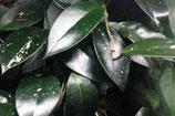 Hoya (Donkergroene variëteit)