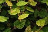 Ficus (montana) quercifolia