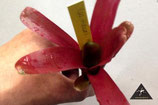 Neoregelia Hawaii green/red