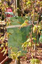 "Acer J.Jewels ""Green Carpet"""