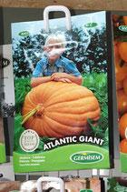 """Potiron """"Atlantic Giant"""""""
