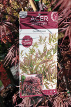 "Acer J.Jewel ""Red Tower"""