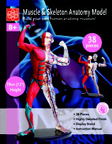 Anatomisches Modell mit Muskeln, Knochen und Blutbahnen 19 cm Bausatz