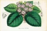 Episcia Bicolor, W. Hook, 1852