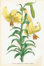 Lilium Loddigesianum, Roem. & Schult., 1852