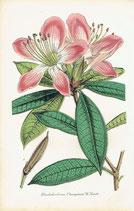 Rhododendrum Championae, W. Hook, 1852
