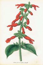 Salvia Gesneriaeflora, Lindl, 1852