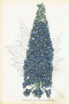 Delphinium Speciosum (?) var. Wheeleri, 1852