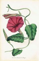 Ipomoea Oblongata, E. Meyer, 1852