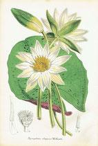 Nymphaea Elegans, W. Hook, 1852