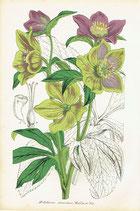 Helleborus Atrorubens, Waldst. & Kit, 1852
